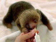 Приют для ленивцев в Коста-Рике