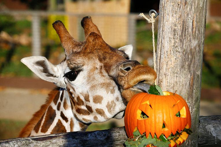 Жираф ест из фонаря-Джека в лондонском зоопарке