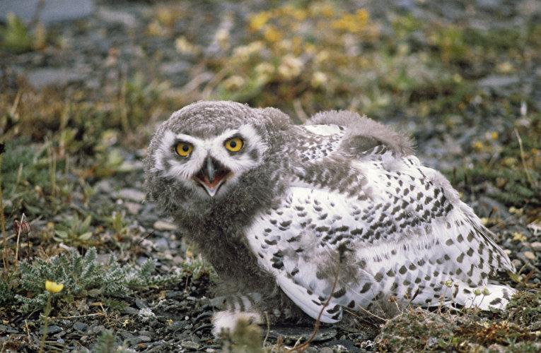 Полярная сова в заповеднике «Остров Врангеля»