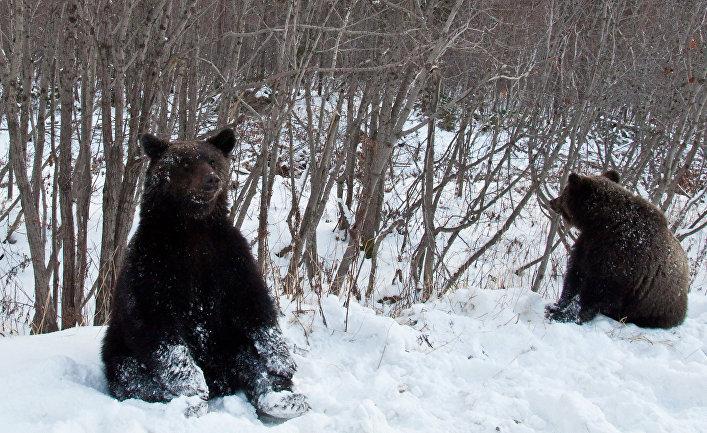 Медведи попрошайничают на дорогах Сахалинской области