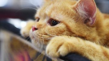 """Кошка породы британская на международной выставке """"Жемчужное шоу кошек"""""""