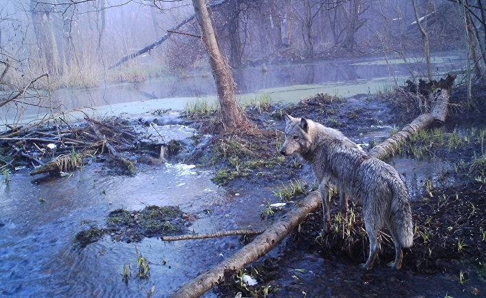 Волк в Чернобыльской зоне отчуждения