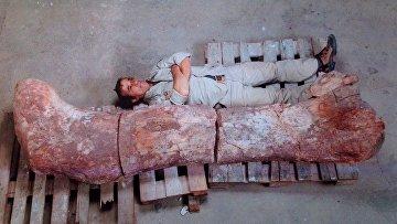 Кость динозавра, который, по мнению ученых, был самым крупным существом, когда-либо жившим на Земле, в археологическом музее в Трелью, Аргентина
