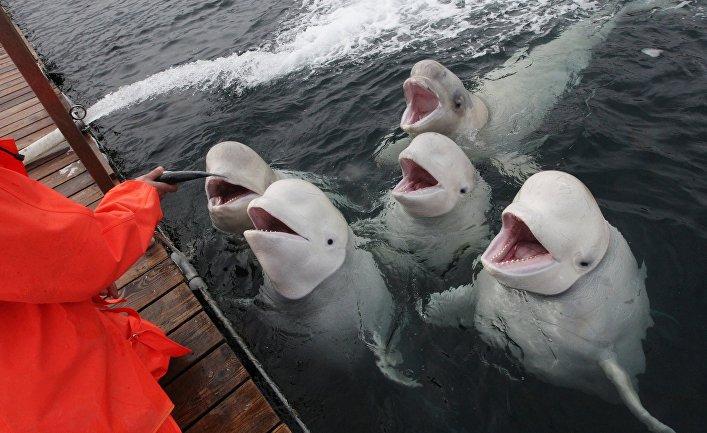 Сотрудник Приморского океанариума ДВО РАН тренирует дальневосточных белух на острове Русский