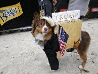 Метис австралийской овчарки Руби в образе Дональда Трампа на Параде собак в Нью-Йорке