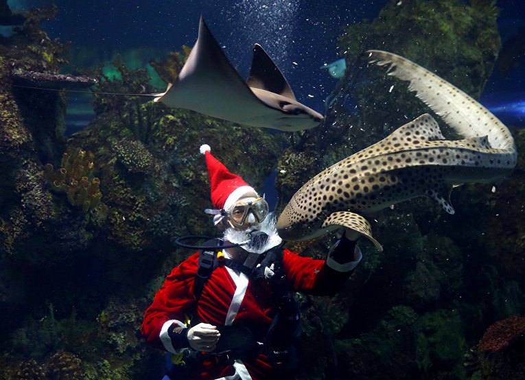 Водолаз, одетый в костюм Санта-Клауса в океанариуме в Кавре