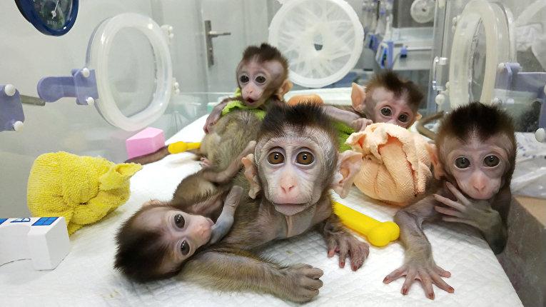 Клонированные обезьяны из Китайской академии наук в Шанхае
