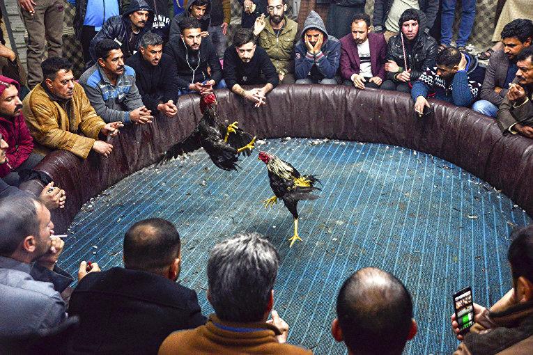 Зрители наблюдают за петушиными боями в Наджафе