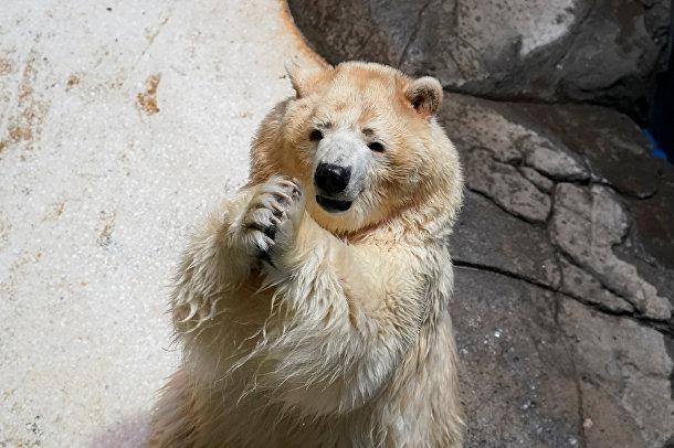 Белый медведь в зоопарке в Ухань