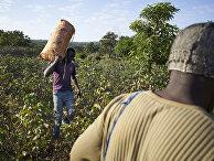 Фермеры собирают хлопок на юге Мали