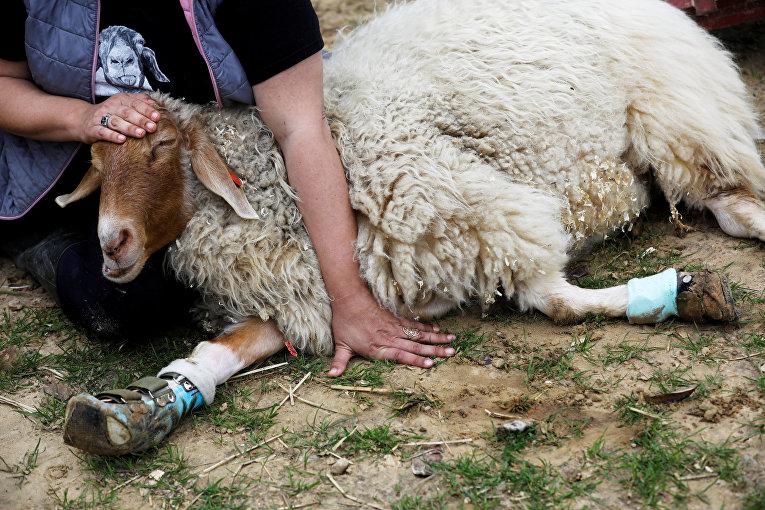 Овца на ферме для животных с ограниченными возможностями в мошав-Олеше