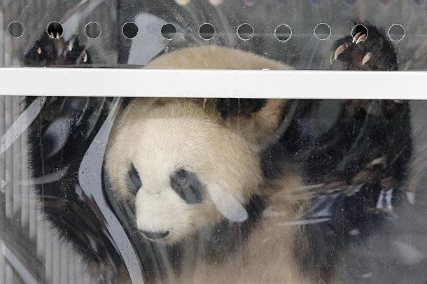 Большая панда Мэн Мэн выглядывает из вольера, в котором она летела из Китая в Берлин. Панду встречают в аэропорту мэр Берлина и посол Китая в Германии