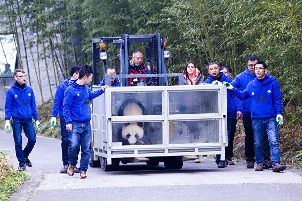 Панда Цзинь Бао Бао отправляется из китайской провинции Сычуань в Финляндию в рамках 15-летнего проекта сотрудничества