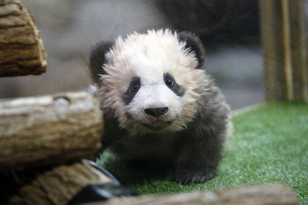 Во французском зоопарке впервые родился детеныш большой панды. Юань Мэн, которому на этом фото четыре месяца, появился на свет у родителей, предоставленных Франции Китаем в рамках программы сотрудничества