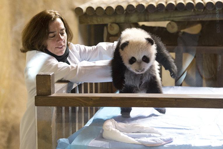 Сотрудник мадридского зоопарка демонстрирует 3-месячного детеныша панды по имени Син Бао. Син Бао родился от панд, предоставленных Испании Китаем, и, согласно договоренности, сам уехал в Китай, когда немного подрос