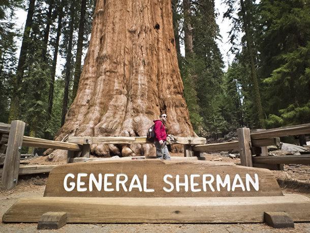 Гигантская секвойя «Генерал Шерман»