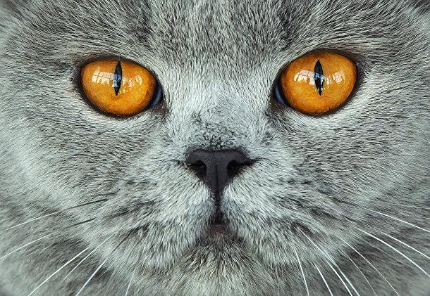 Британская короткошерстная кошка во время заседания жюри на международной выставке породистых собак и кошек в Эрфурте, Германия
