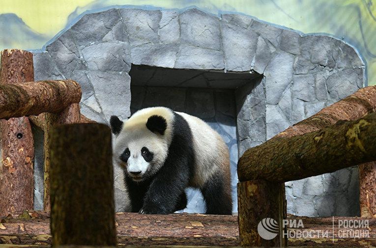 Панды в Московском зоопарке
