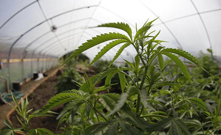 Выращивание марихуаны на ферме в долине Поттер, Калифорния