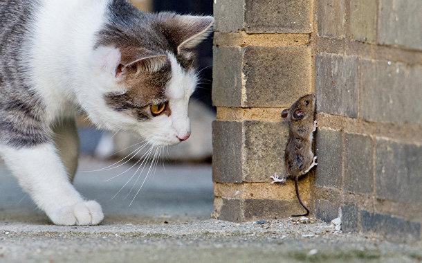 Кошка ловит мыш