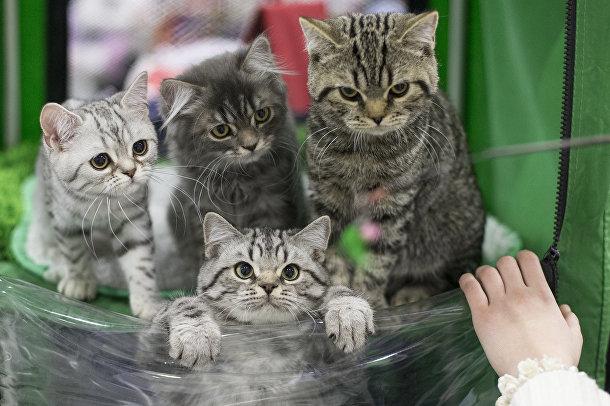Котята на выставке кошек