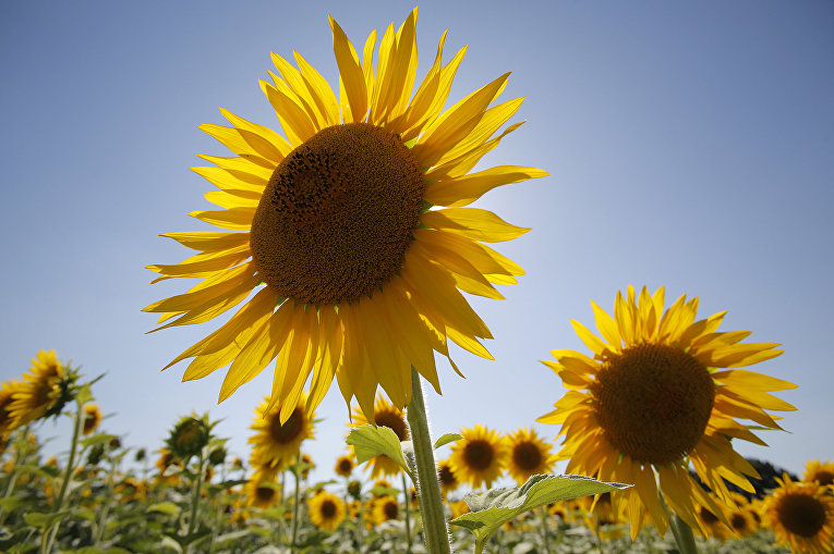 Подсолнухи цветут в поле недалеко от города Переяслав-Хмельницкий