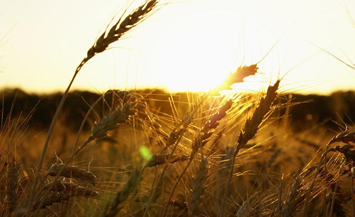 поля засеянные пшеницей занимали кредит наличными рнкб в крыму