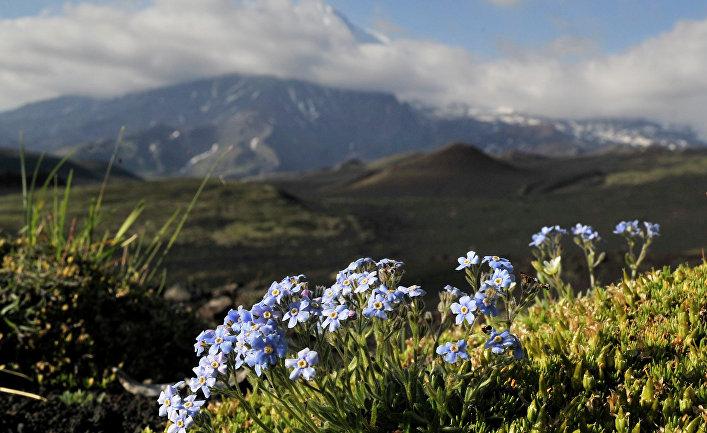 Горные цветы на Камчатке