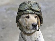 Тимоти, пес-сапер из Колумбии