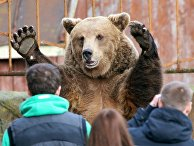 Бурый медведь в зоопарке