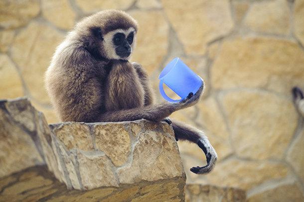 Обезьяна в зоопарке в Дебрецене, Венгрия
