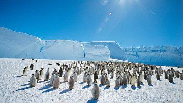 Колония императорских пингвинов в районе станции Мирный в Антарктиде