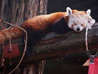 Малая панда спит на бревне в вольере Московского зоопарка