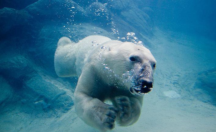 Полярный медведь Вилли в зоопарке Эшборо, Северная Каролина