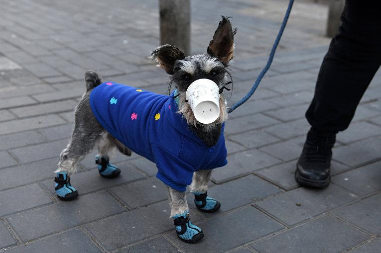 Собака в самодельной маске в Пекине