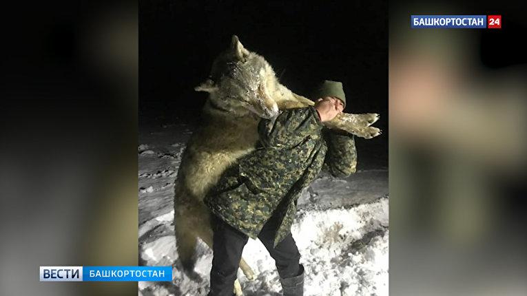 В Башкирии застрелили огромного волка