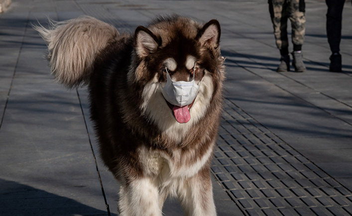 Собака в маске в Пекине