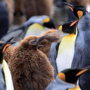 Птенец королевского пингвина