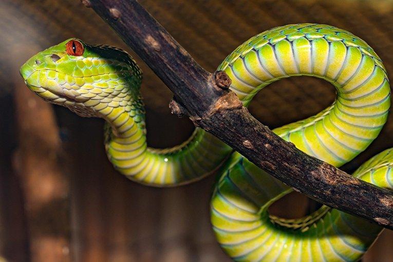 Ядовитая змея