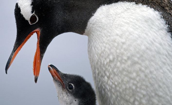 Папуанский пингвин кормит детеныша рядом с базой «Бернардо О'Хиггинс»