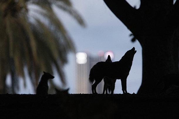 Шакалы воют в парке Ха Яркон в Тель-Авиве