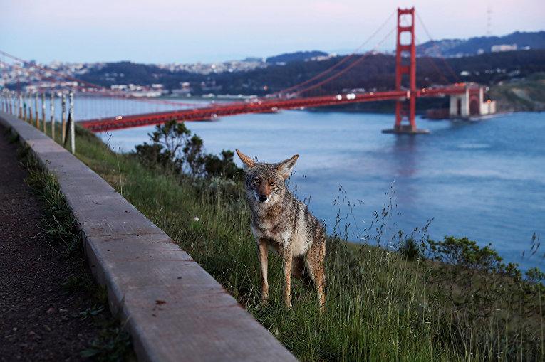 Койот на обочине дороги недалеко от моста Золотые Ворота в Сан-Франциско