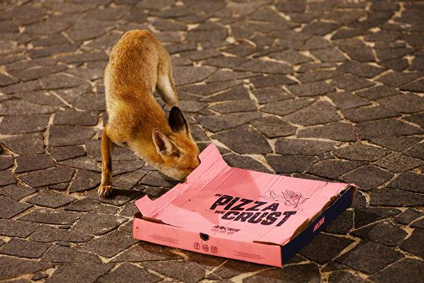 Рыжая лиса обследует брошенную на улице коробку с пиццей в израильском городе Ашкелон