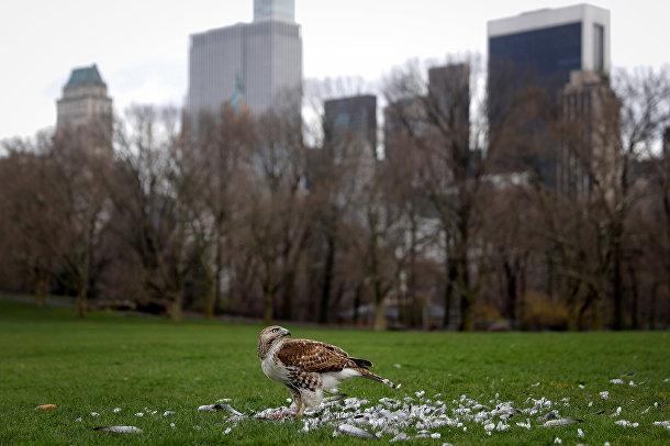 Краснохвостый сарыч убил голубя в Центральном парке в Нью-Йорке