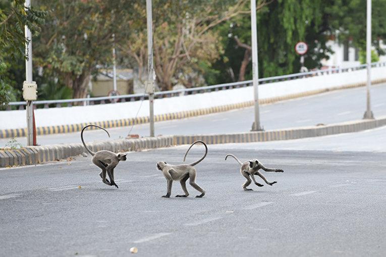 Серые лангуры на пустынном шоссе в Ахмадабаде