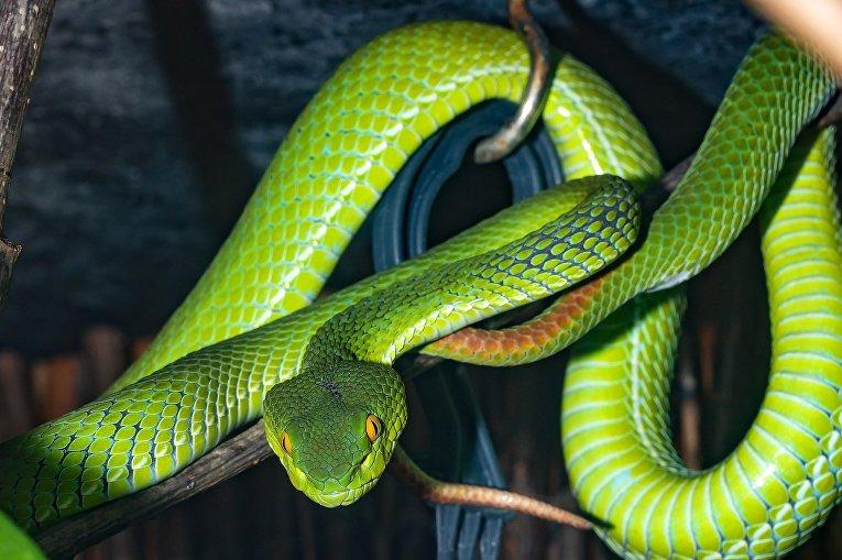 Зеленая гадюка