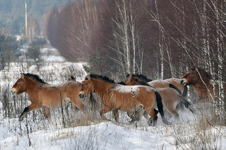 Дикие лошади Пржевальского в Чернобыльской зоне отчуждения