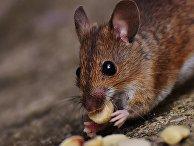 Мышь ест орехи