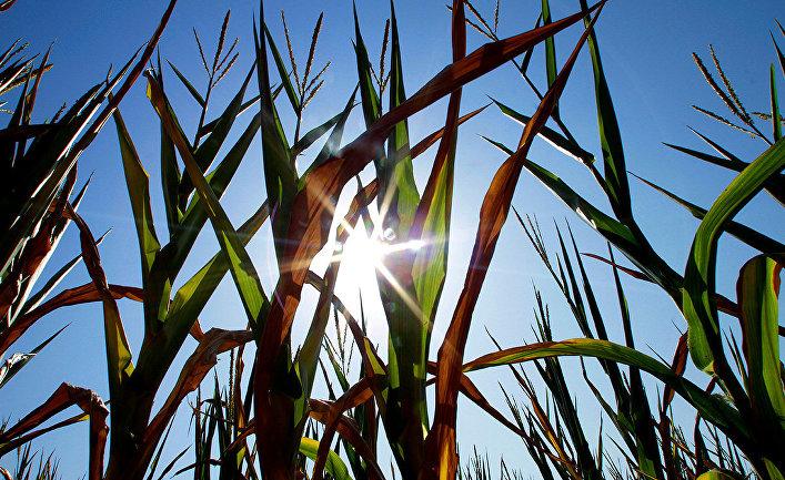 Посевы кукурузы в штате Иллинойс, США