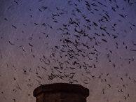 Стая стрижей в вечернем небе